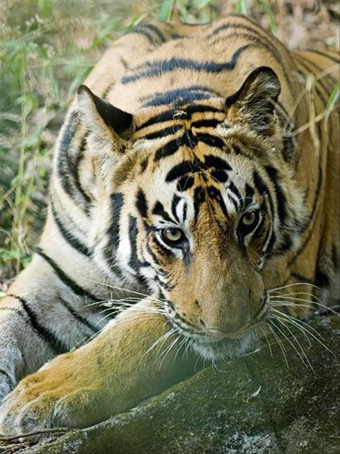Tiger (Paul Marshall)