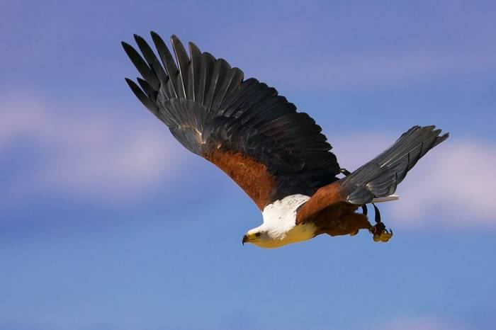 African Fish Eagle, Africa (Pal Teravagimov)