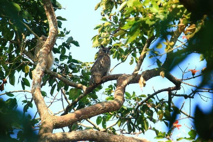 Dusky Eagle-owl (Sujan Chatterjee)