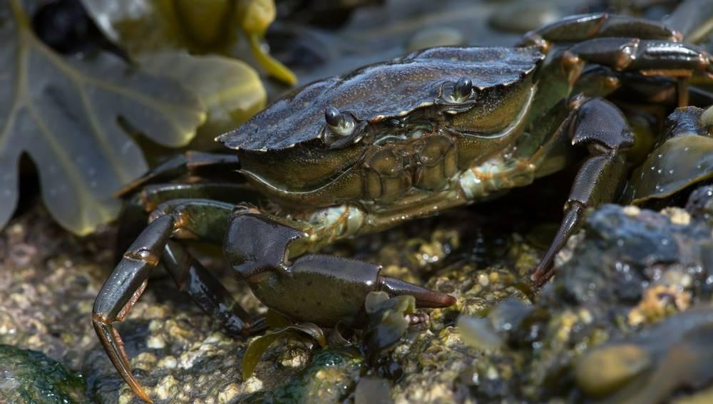 Common Shore Crab, Wildlife Holidays