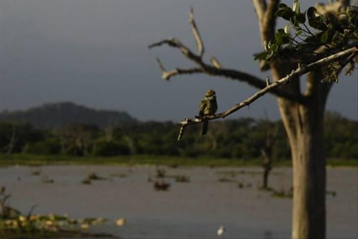 Green Bee-eater, Yala National Park (Thomas Mills)
