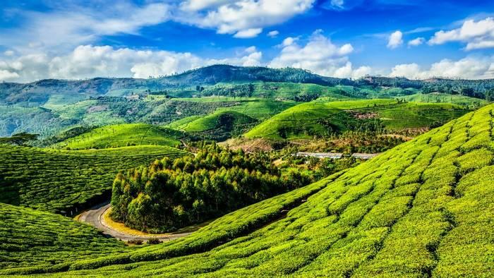 Green Tea Plantations In Munnar, Kerala, India Shutterstock 360721544