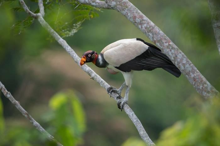 King Vulture Amazon