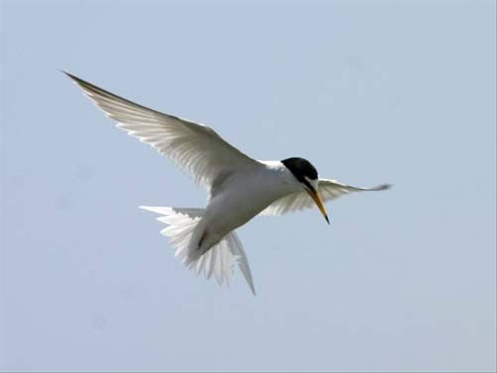 Little Tern (Peter Dunn)