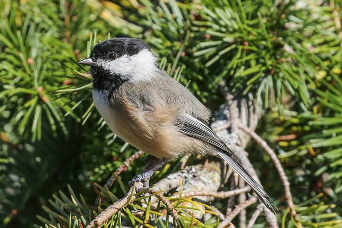 Black-capped Chickadee (Peter Dunn)