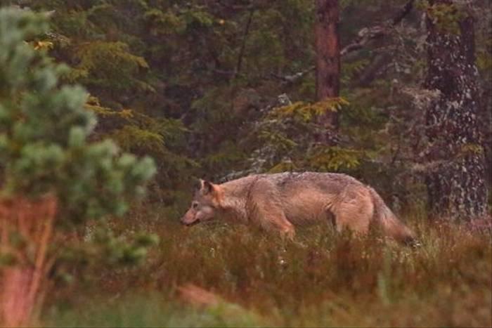 Wolf, Sweden (Hakan Vargas)