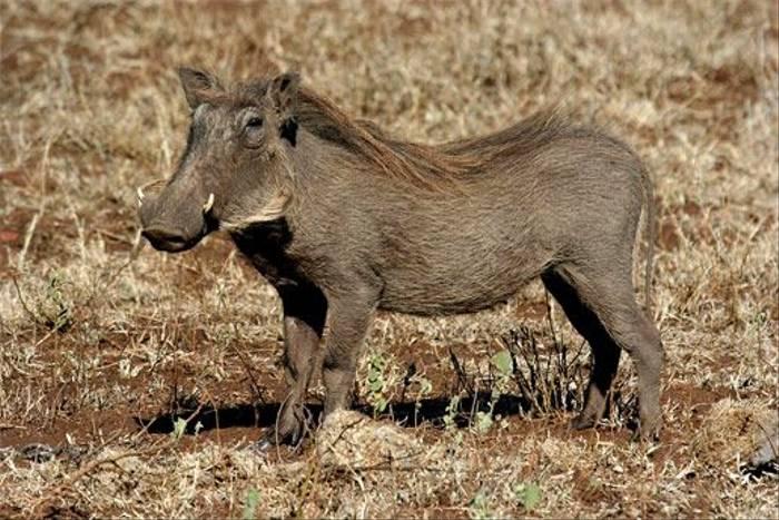 Warthog (Leon Marais)
