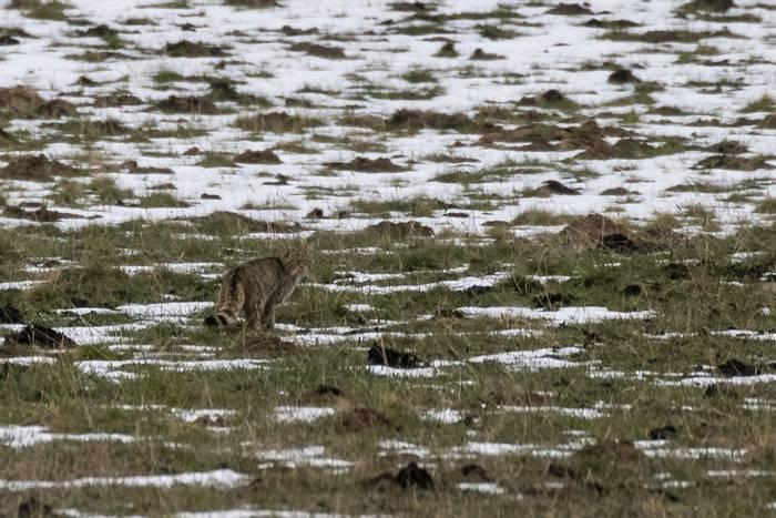 Wildcat in Belagua (Javi Elorriaga).jpg