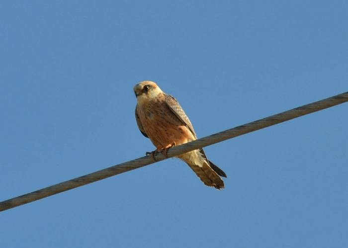Red-footed Falcon (Peter Law)