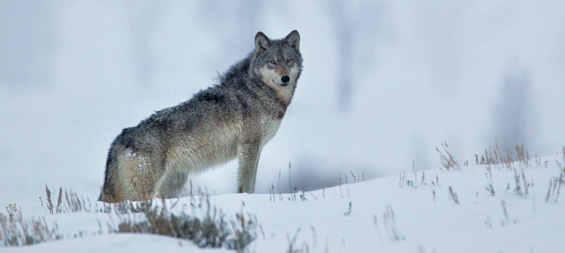 Grey Wolf, Yellowstone Shutterstock 1099953485