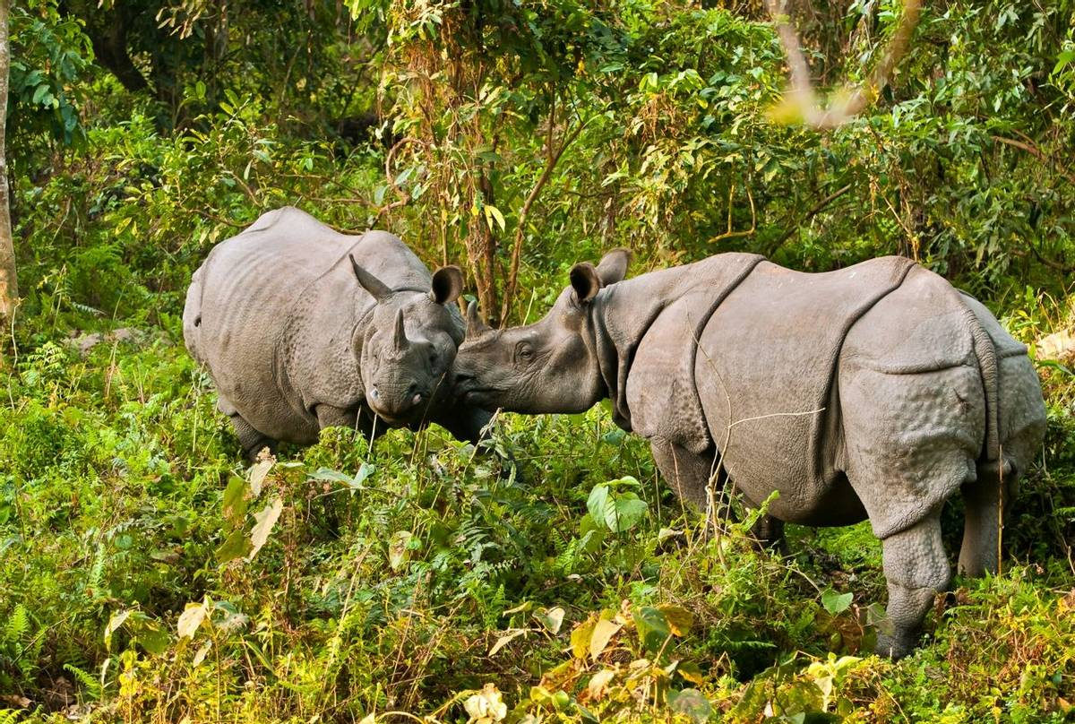 One-horned Rhinoceros, Kaziranga, India shutterstock_132152183.jpg