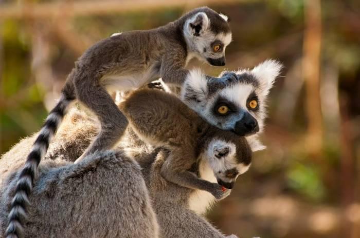 Ring Tailed Lemurs (Eric Gevaert)