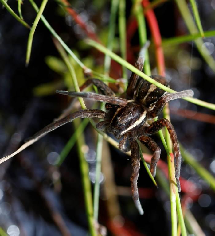 Raft Spider (Matt Eade).JPG