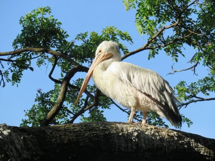 Spotbilled Pelican (David Hartill)