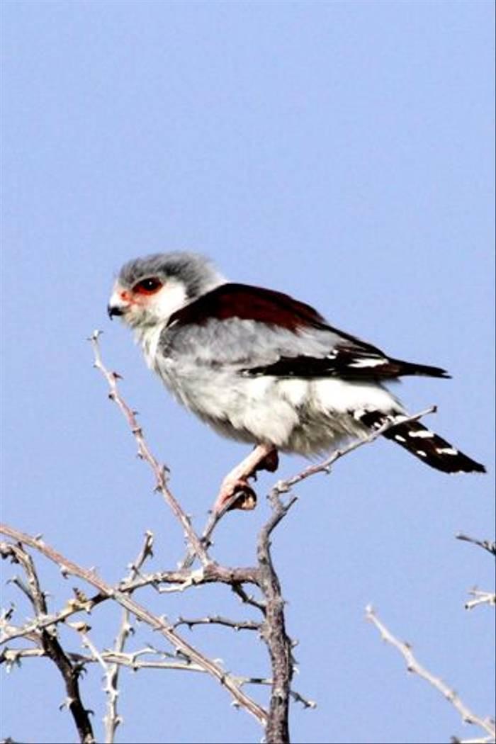 Pygmy Falcon (Neil Macleod)