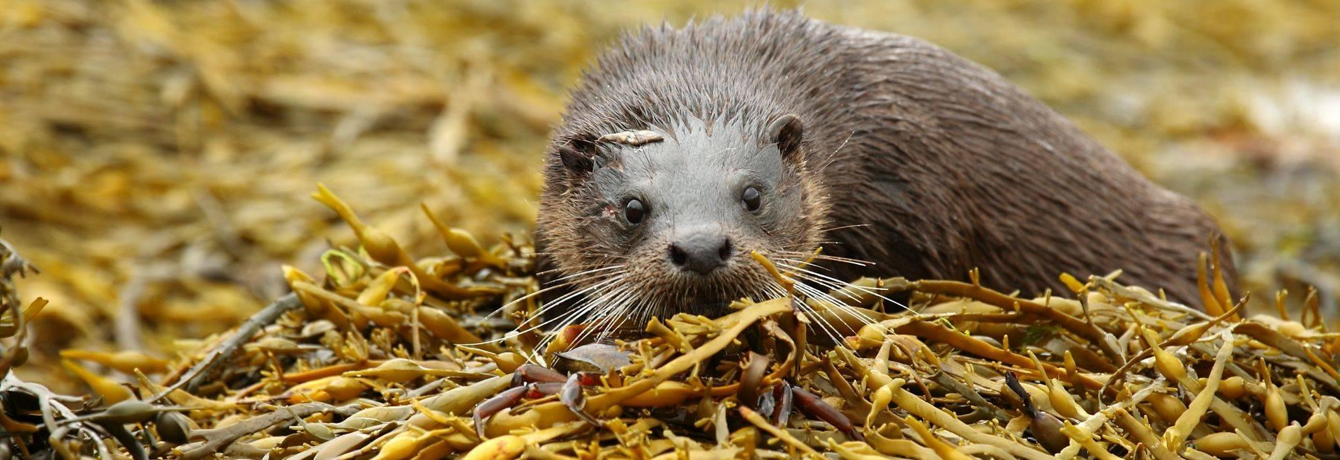 Eurasian Otter (John A Cameron)