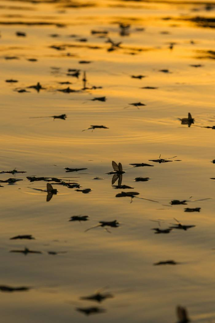 Mayflies on the river by O Smart.jpg