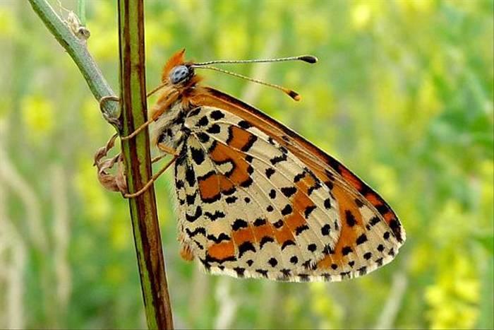 Spotted Fritillary (David Ferguson)