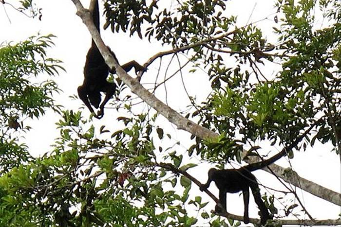 Black Spider Monkeys (Kiera Griffin)