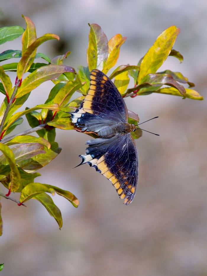 Two Tailed Pasha. Shutterstock