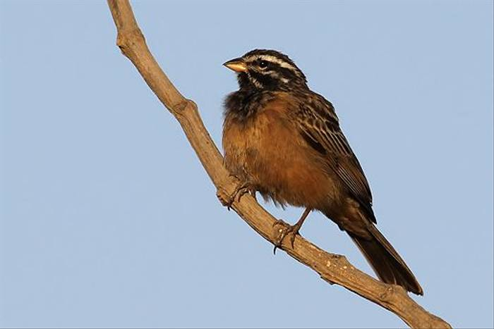 African Rock Bunting (Chris-Ward)
