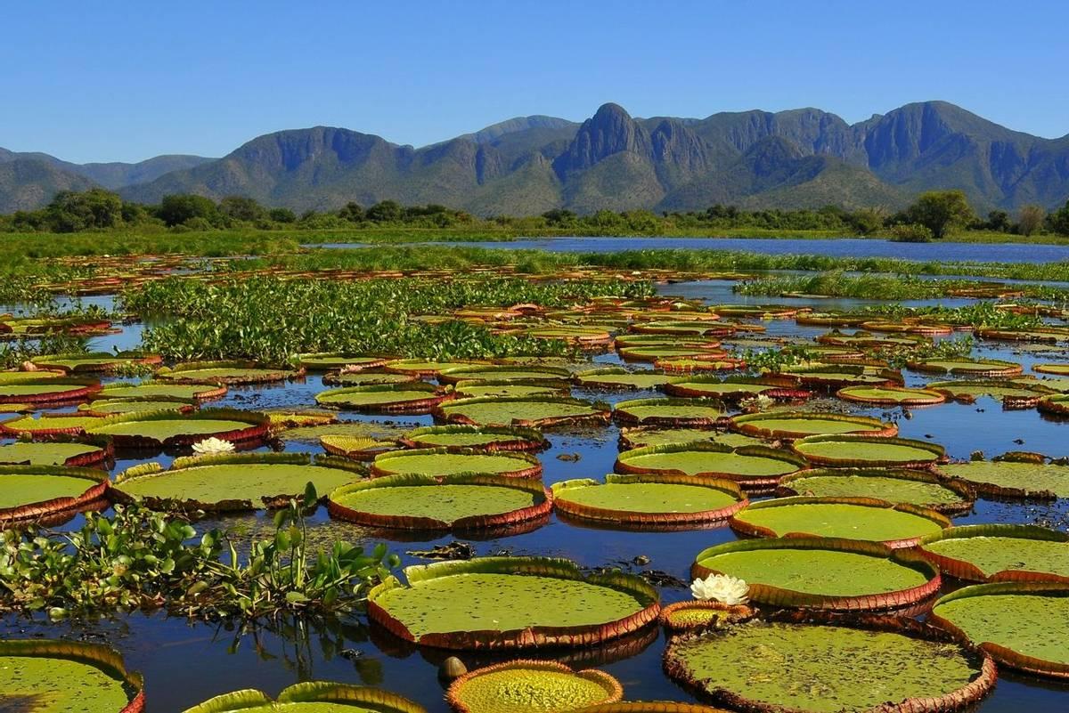 Giant Water Lilies, Pantanal National Park, Brazil shutterstock_1115839766.jpg