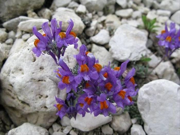Linaria alpina - Alpine Toadflax (Paul Harmes)