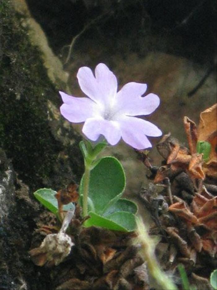 Primula tyrolensis (Paul Harmes)