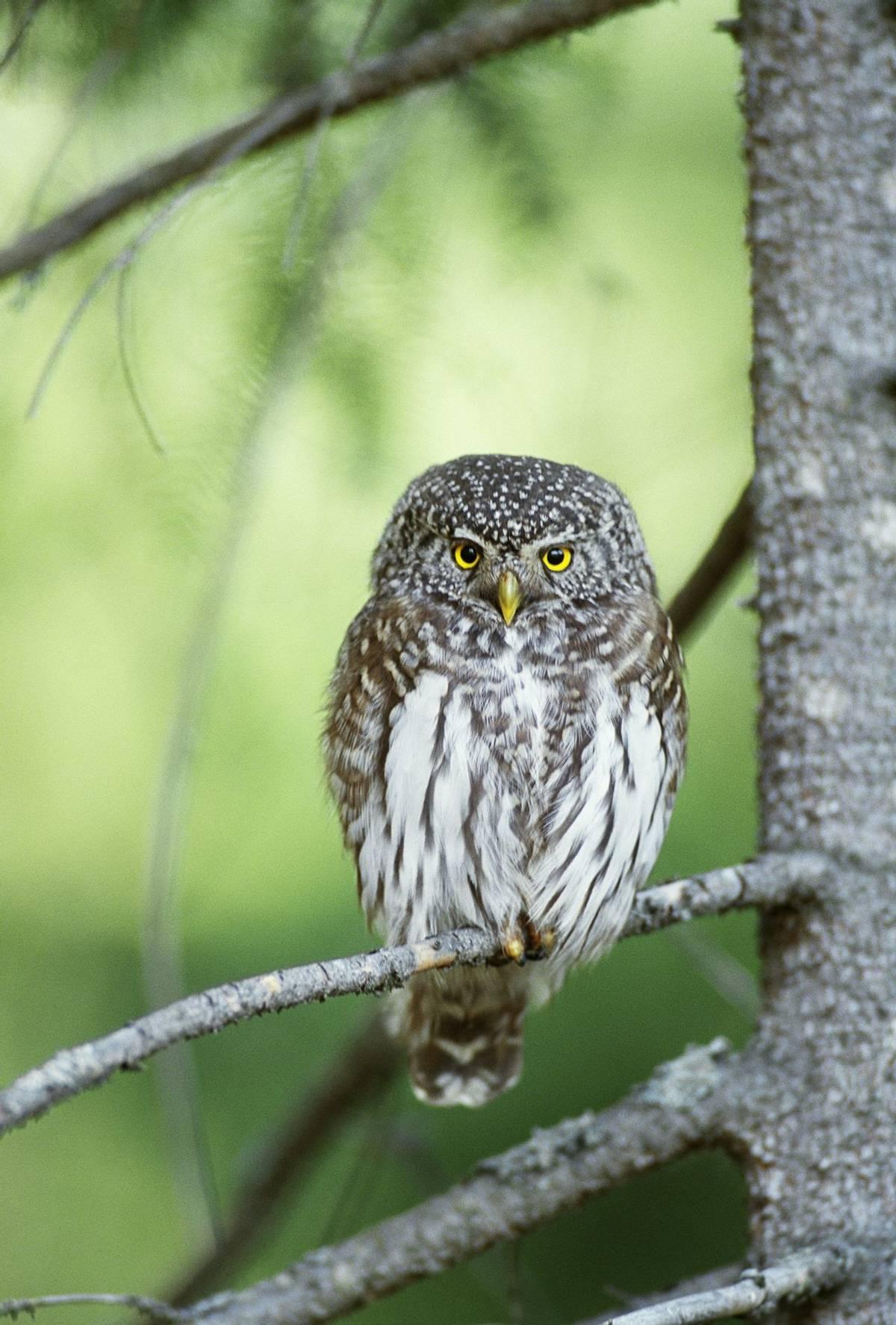 Pygmy Owl.