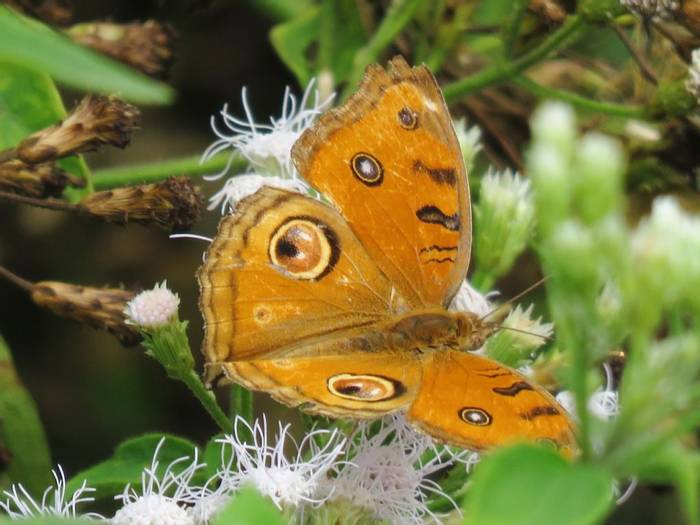 Peacock Pansy Butterfly (David Hartill)