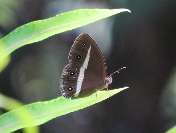 Bushbrown Butterfly (David Hartill)