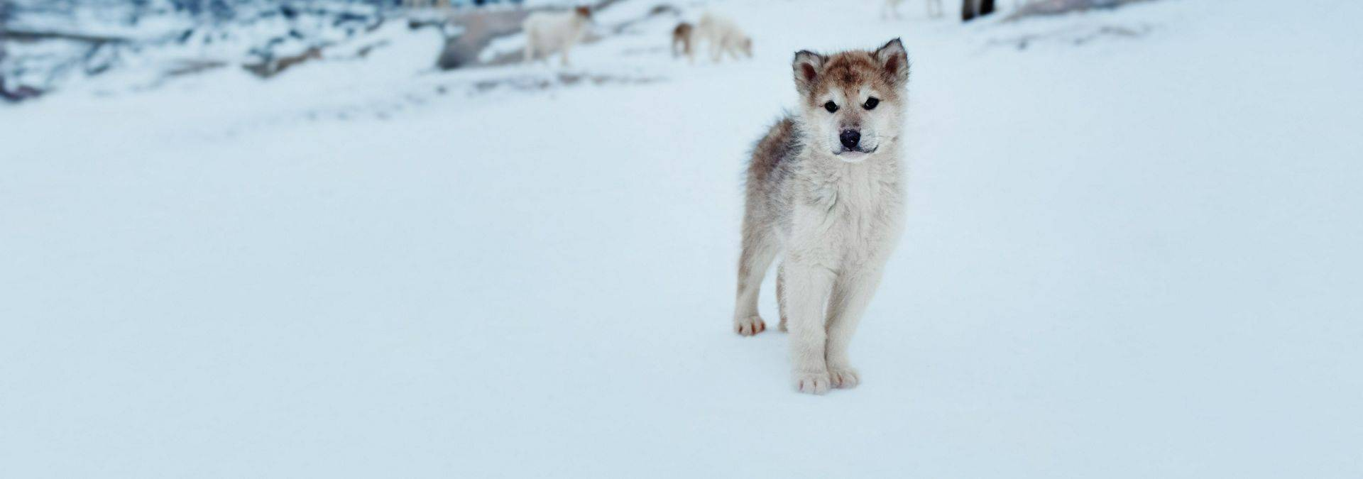 Sled dog puppy in Ilulissat - Photo by Rebecca Gustafsson - Visit GreenlandR