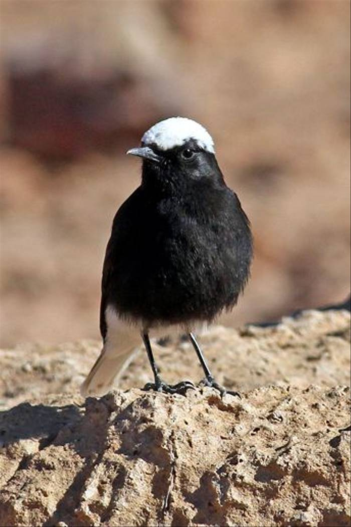 White-crowned Black Wheatear (Peter Dunn)