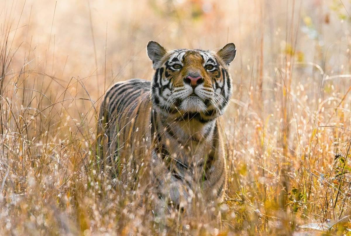 Tiger,-Kanha shutterstock_1021961710.jpg