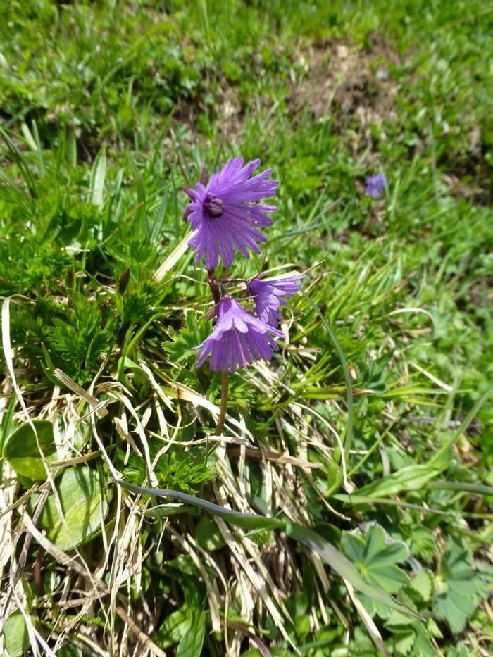 Soldanella alpina (Kerrie Porteous)