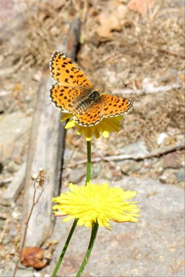 Spotted Fritillary (Colin Wibberley)