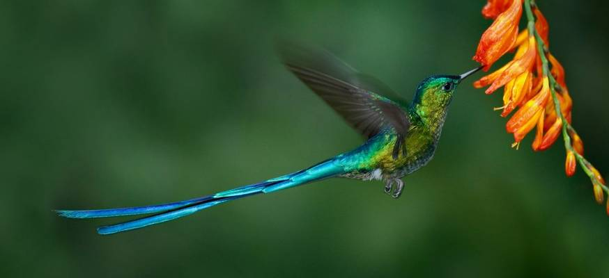 Long Tailed Sylph Shutterstock 552645922