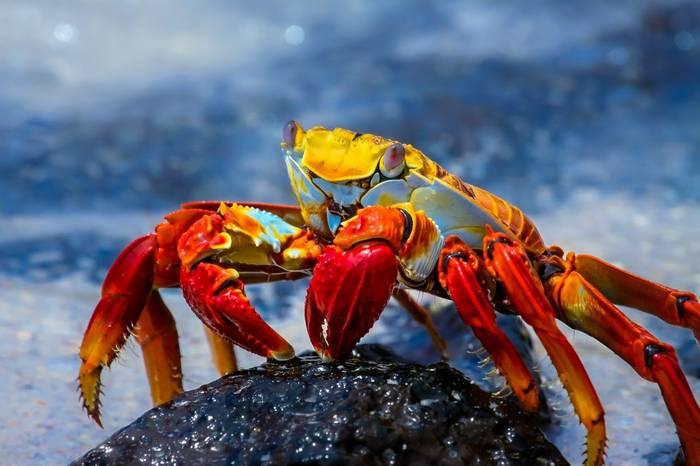 Sally Lightfoot Crab Galapagos Shutterstock 504160309