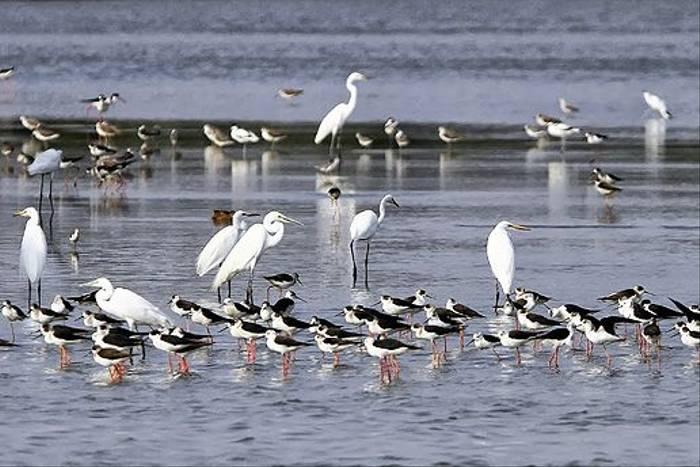 Great White Egret, Little Egret & Black-winged Stilt (Richard Foster)