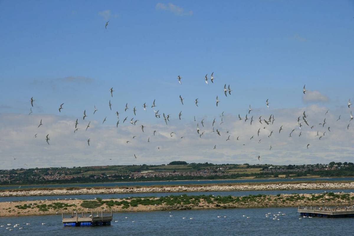 Common tern nesting site Langstone Harbour Hayling Billy Line.JPG