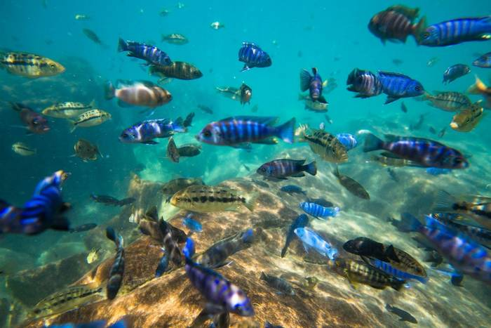 Cichlid Fish, Lake Malawi shutterstock_625062728.jpg