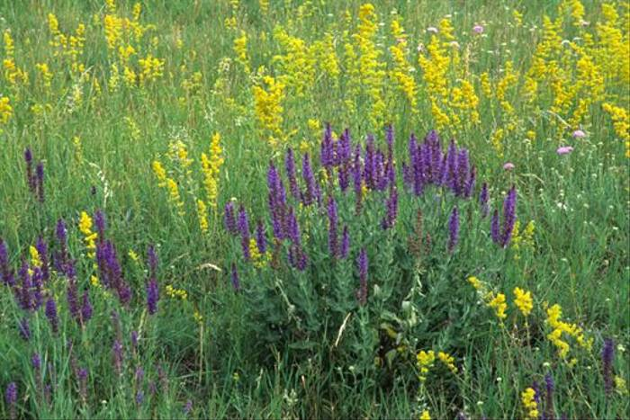 Austrian Sage with Bedstraw