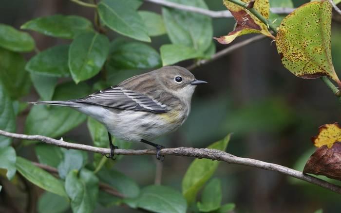 Myrtle Warbler, Cape May, USA shutterstock_1316079176.jpg