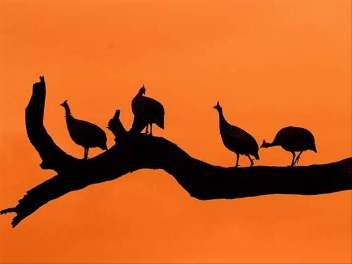 Helmeted Guineafowl (David Mercer)