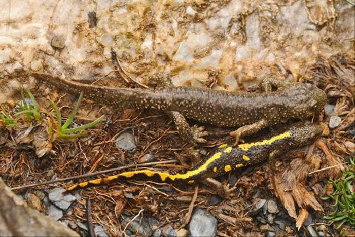 Pyrenean Brook Newts (David Morris)
