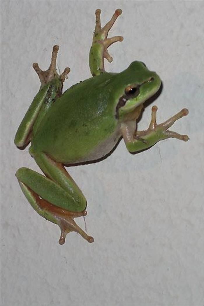 Stripeless Tree Frog (Peter Dunn)