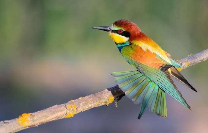 European Bee-eater shutterstock_1373238764.jpg