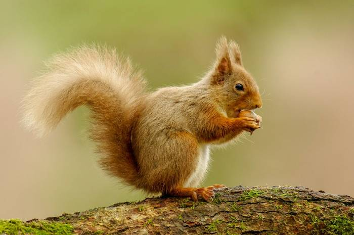 Red Squirrel (Lindsey Smith).jpg