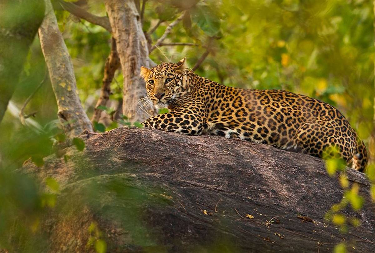 Leopard, Pench, India Shutterstock 1275353320