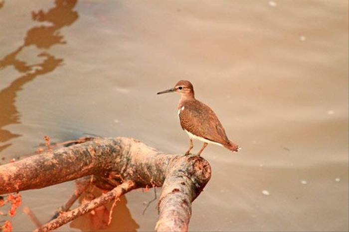 Common Sandpiper (Bret Charman)